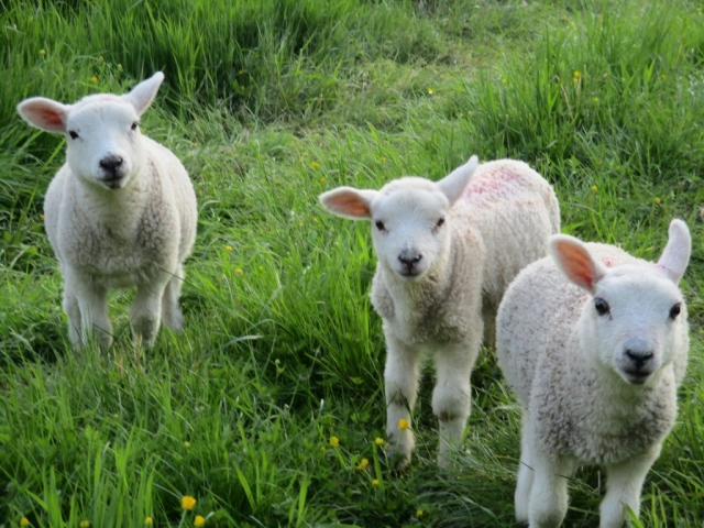 Our Spring lambs