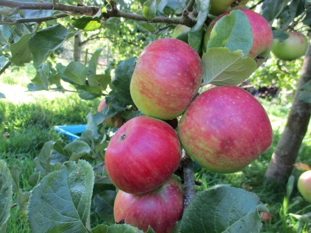 Apple ripe in our orchard