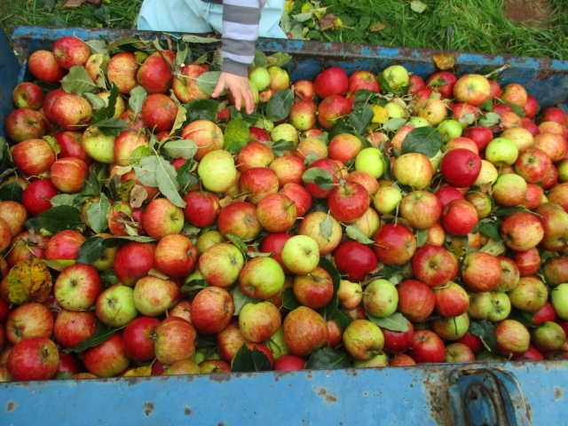 Apples ready for juicing. We make cider and apple juice
