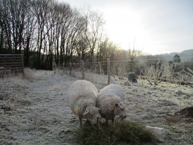 Our sheep on a winter's morning